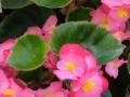 ベゴニアの葉 (1)