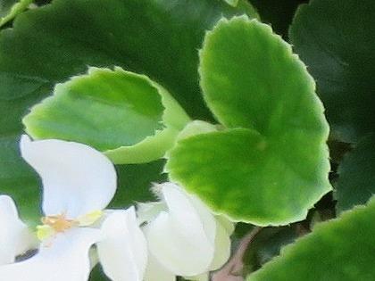 ベゴニアの葉 (2)