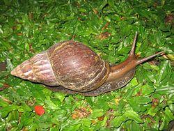 250px-Snail_in_Ubud,_Bali,_2010_(1)