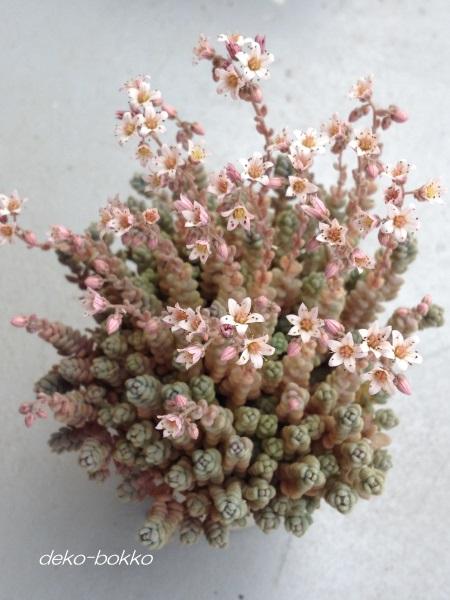 ブレビフォリウム 花盛り 201507