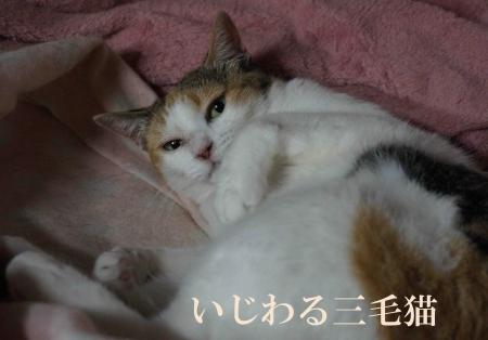 いじわる三毛猫
