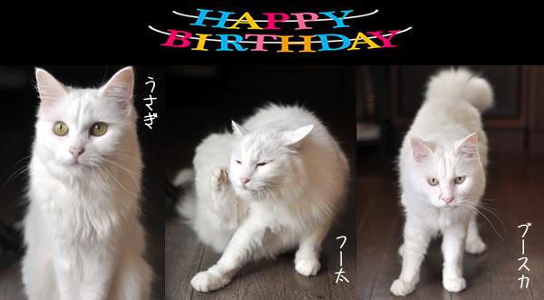 白猫3兄弟9歳誕生日