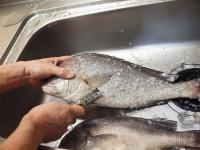 コロダイの島寿司40