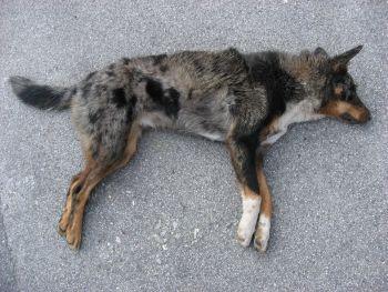 スイス 野犬 射殺
