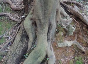 伏見稲荷木の根blog01
