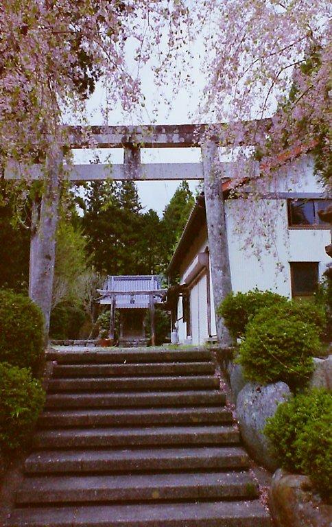 2015 R151の桜-2