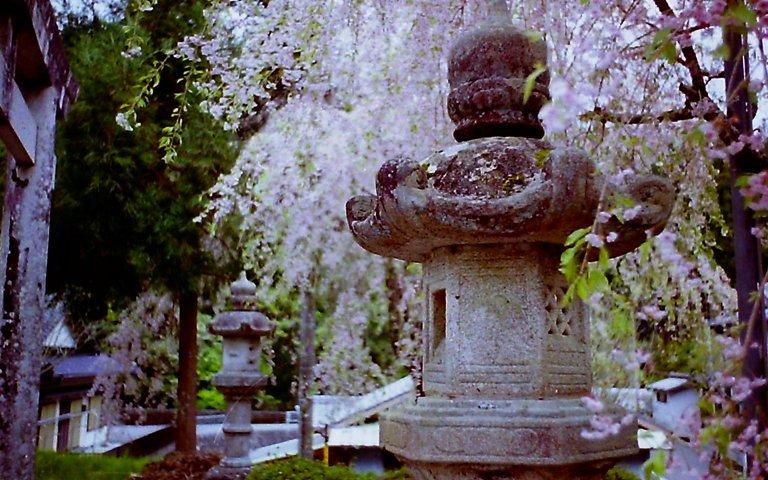 2015 R151の桜-4