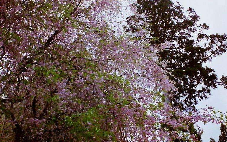 2015 R151の桜-5