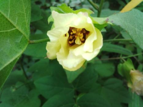 和綿の初花