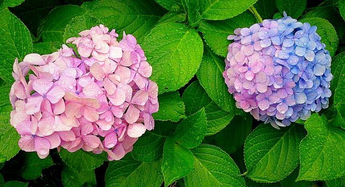 紫陽花_20150619