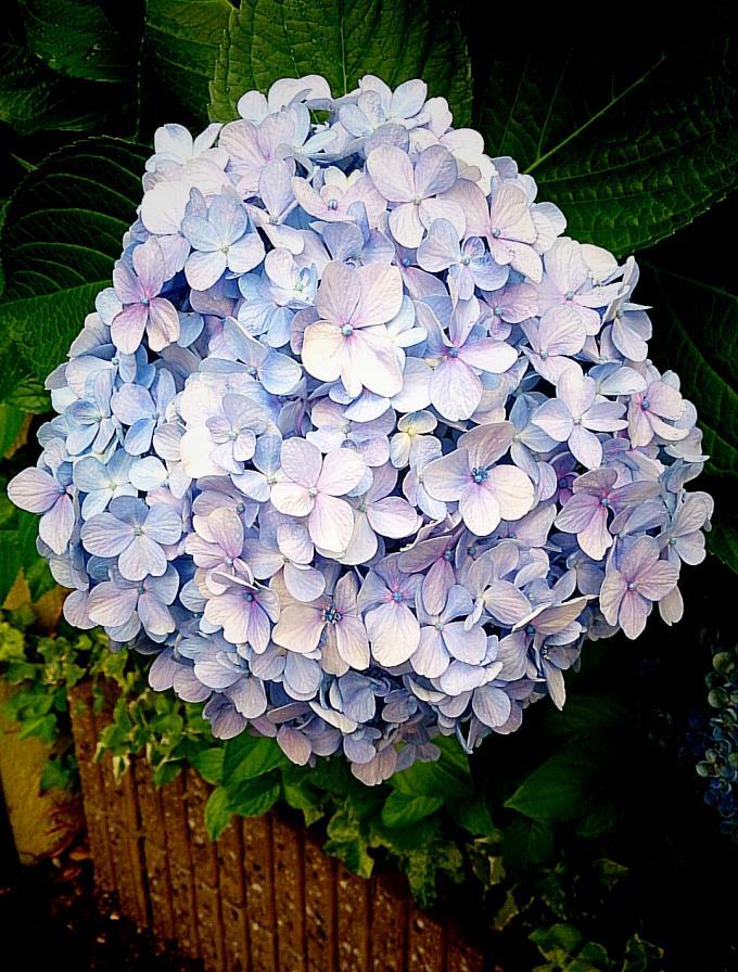 紫陽花_20150626