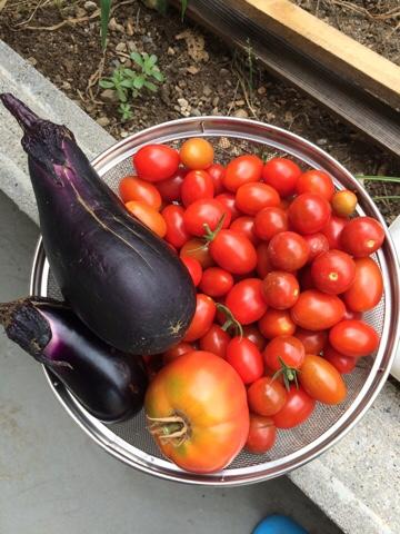 家庭菜園 初心者 野菜作り ミニトマト プチトマト トマト ナス 収穫
