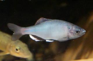 ミナミアカヒレタビラ雄(魚津)