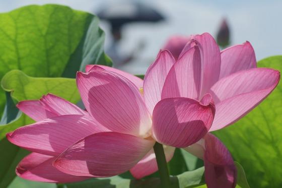 150714森川花はす田-6