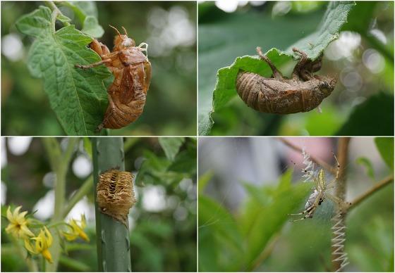 150719空蝉とカマキリ卵と蜘蛛