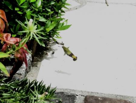 庭の昆虫 011