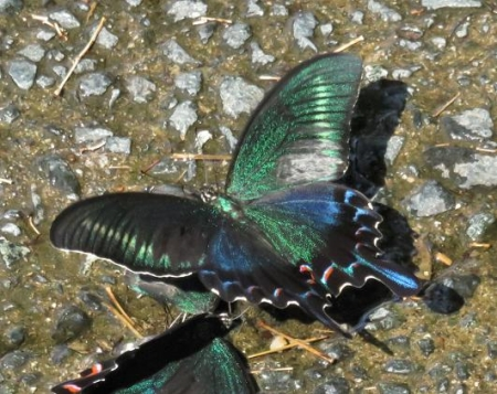 蝶の死骸あり 240
