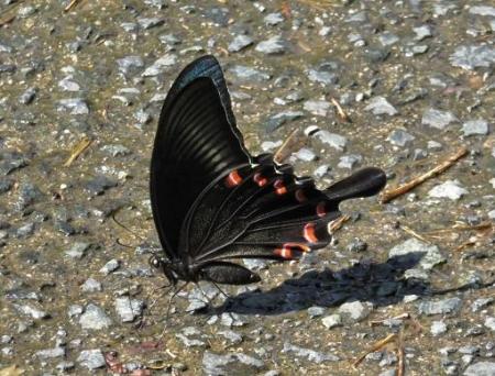 蝶の死骸あり 236