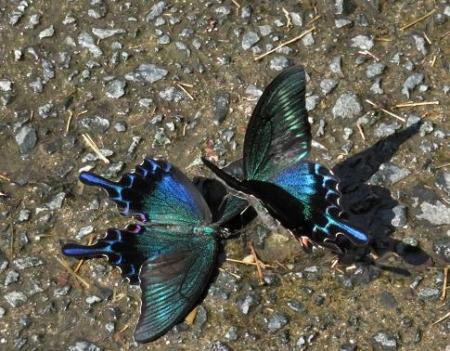 蝶の死骸あり 229