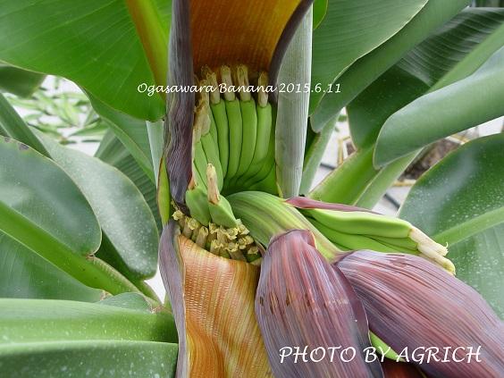 banana2015.-2