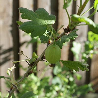 gooseberry01.jpg