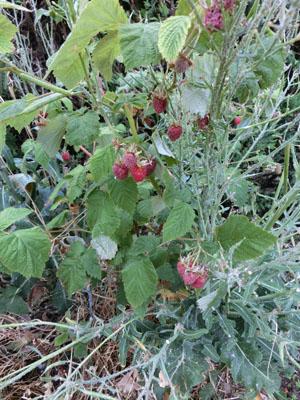 rasberry02.jpg