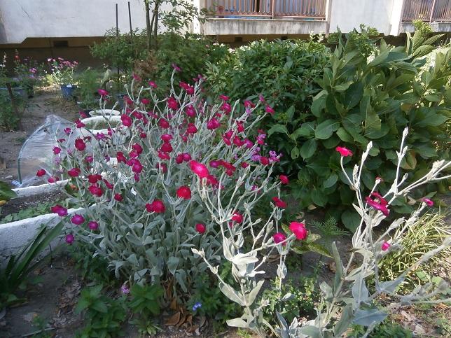 近所の花1