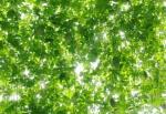 20150714グリーンカーテン