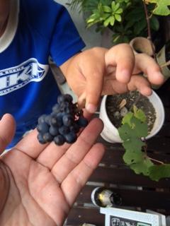 2015 08 02 ブドウ収穫2
