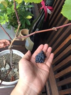 2015 08 02 ブドウ収穫3