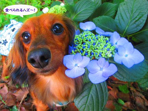 2015-06-azisai20.jpg