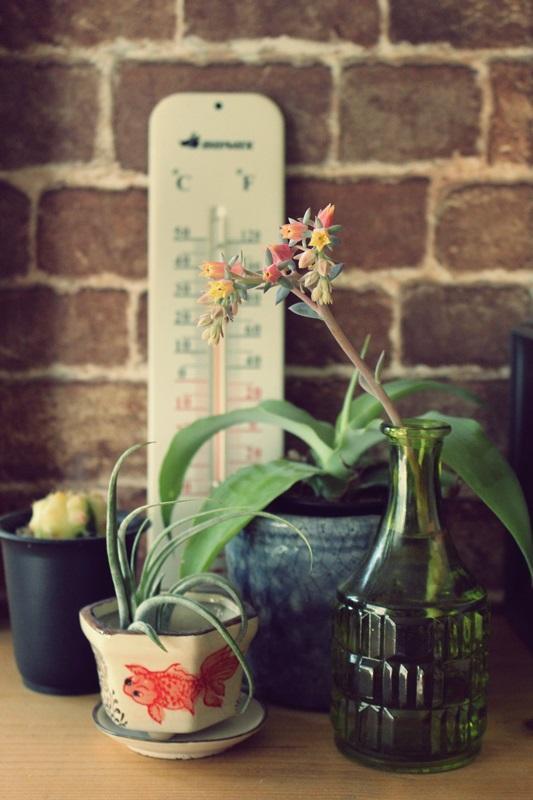 インブリカータ花、咲いてるよ。