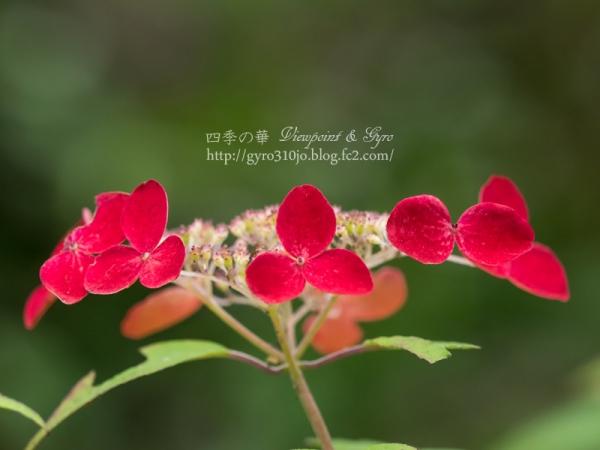 光則寺の紫陽花 A