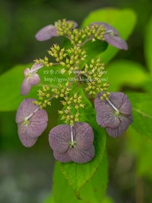 光則寺の紫陽花 E