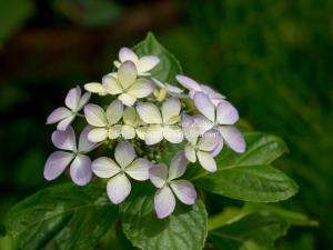 光則寺の紫陽花 H