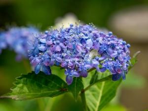光則寺の紫陽花 I