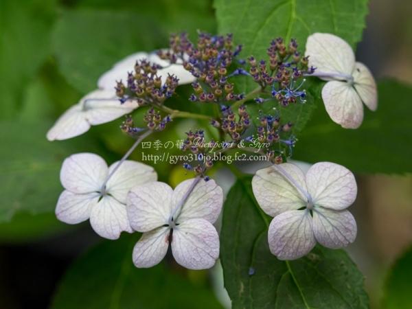 光則寺の紫陽花 J