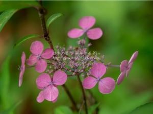 光則寺の紫陽花 L