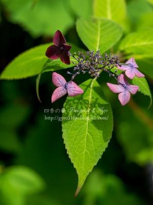 光則寺の紫陽花 F