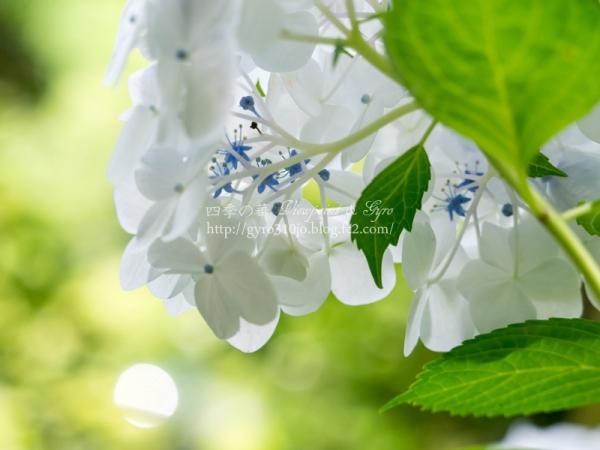 光則寺の紫陽花 D