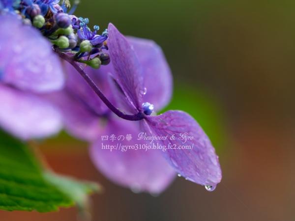 高幡不動尊の紫陽花 E