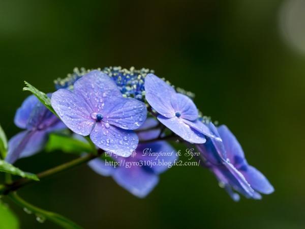 高幡不動尊の紫陽花 B