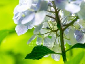 高幡不動尊の紫陽花 D