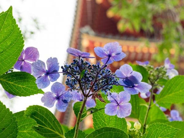 高幡不動尊の紫陽花 A