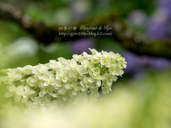 百草園の紫陽花 C