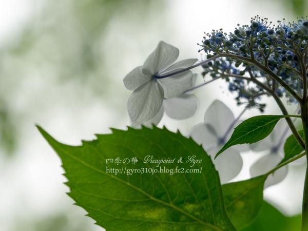 百草園の紫陽花 D