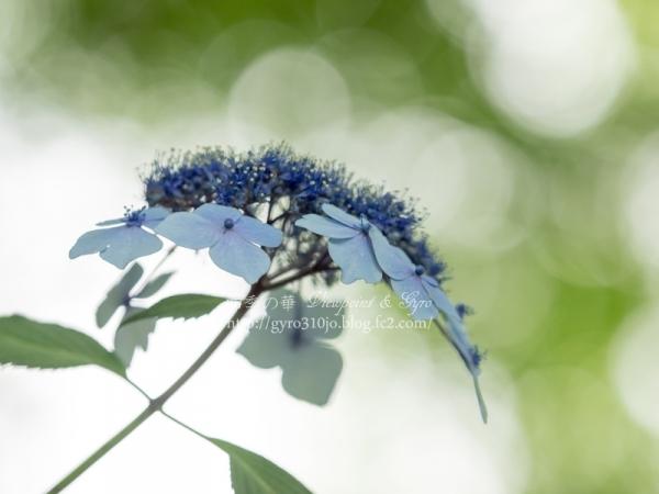 百草園の紫陽花 E