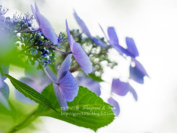 百草園の紫陽花 A