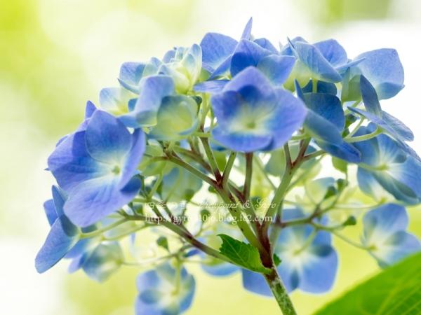 百草園の紫陽花 B