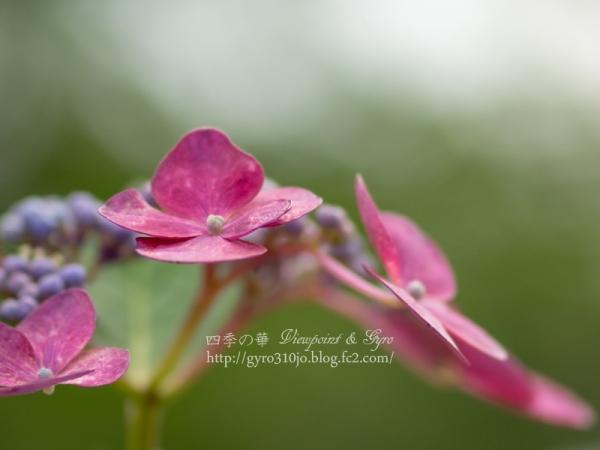 紫陽花 G